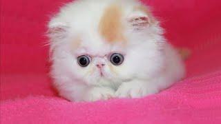 Persian Kittens Are Too Cute  Cute Persian Kitten Videos || NEW