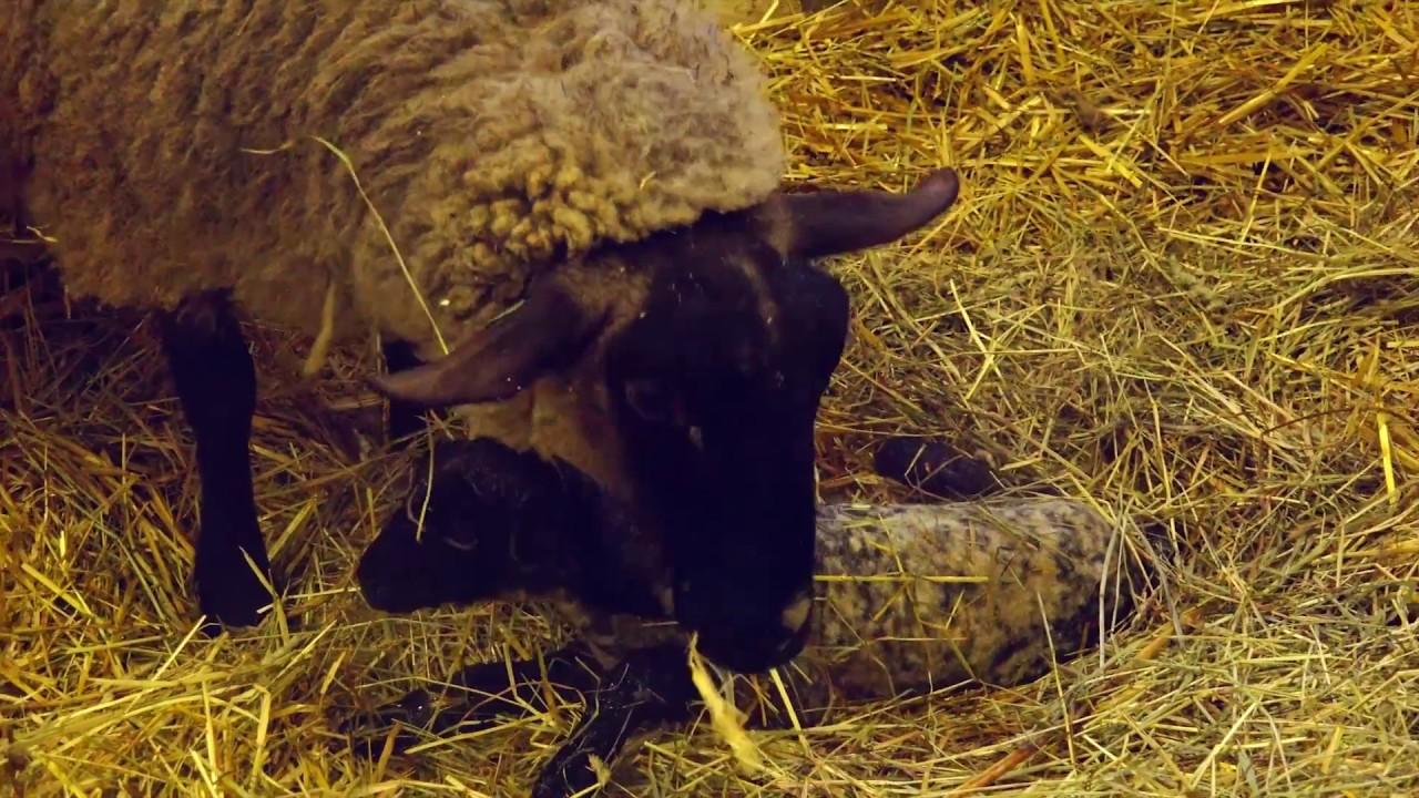 【遠農物語】サフォーク羊双子の出産の様子