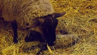 遠別農業高校のサフォーク羊の双子の出産シーンです。 日本最北の農業高...