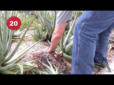Aloe Vera Plant Care - Removing Pups and leaves