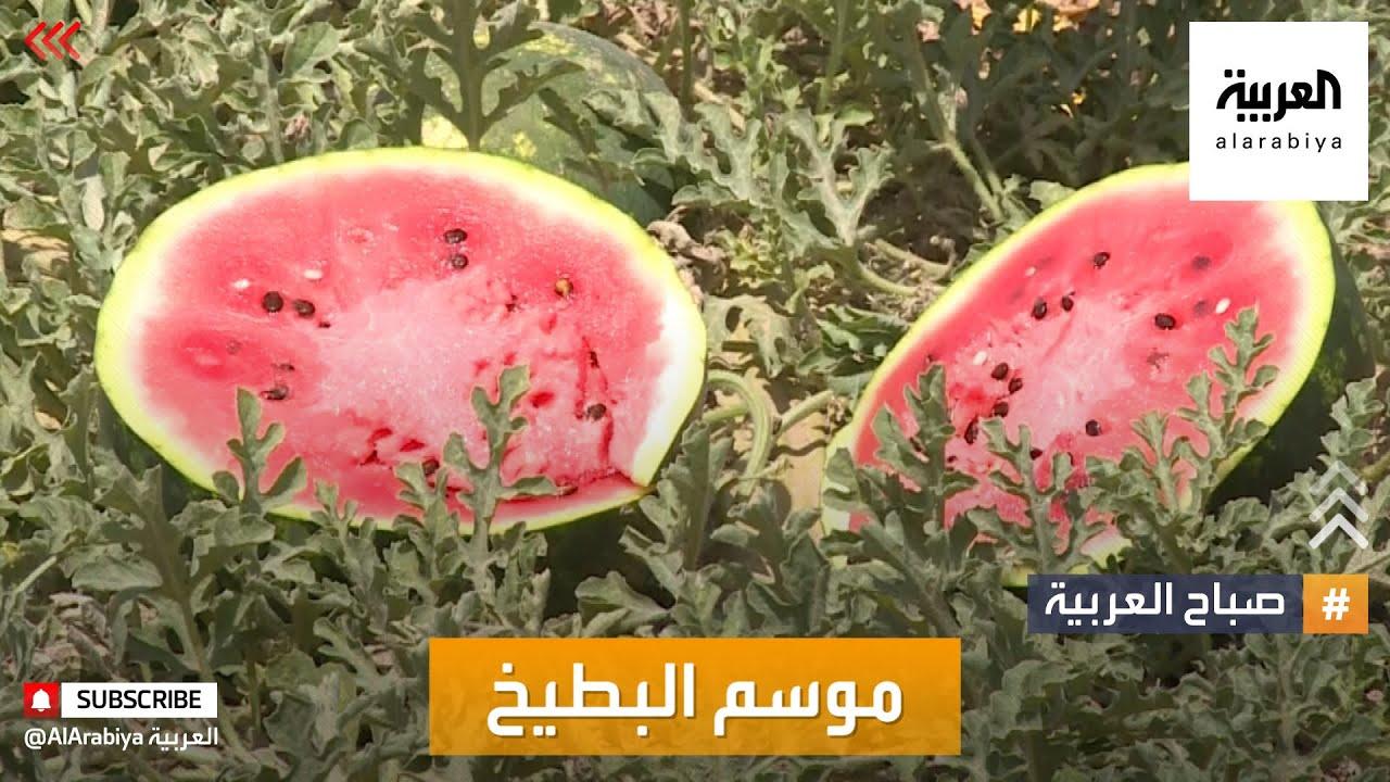 صباح العربية | انطلاق موسم قطف البطيخ الفلسطيني  - نشر قبل 2 ساعة