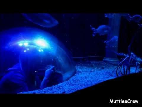 Submarine in an Aquarium  Lobsters