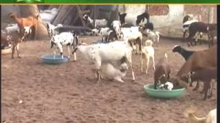 Tips on goat farming for beginners