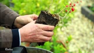 Planter un goji en pot(Le goji ou Lyciet de Chine donne des baies aux vertus médicinales multiples. Hubert Fontaine vous montre comment le planter en pot. Pour aller plus loin ..., 2015-12-25T05:00:01.000Z)
