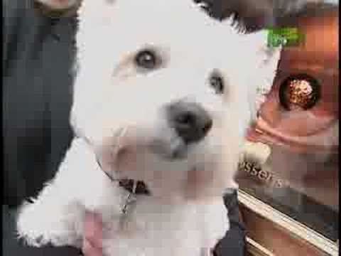 Breed All About It - West Highland White Terrier