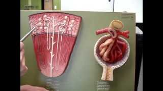 Renal Blood Flow 2