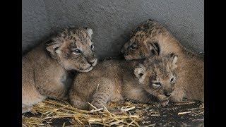 Webcambeelden Aziatische leeuwenwelpjes kraamkamer Diergaarde Blijdorp