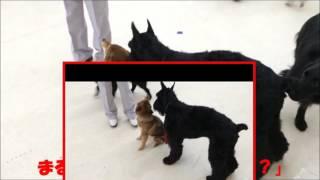 【柴犬まる】大型犬のしつけ教室で固まるの巻.