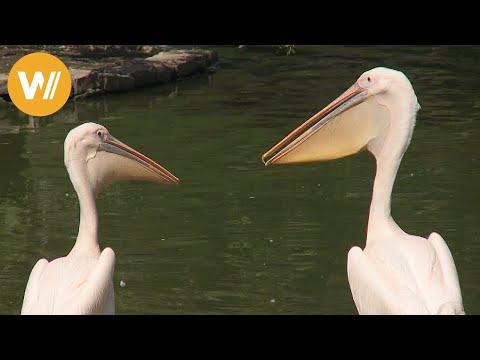 Pelikan | Unsere Tierwelt (Kurze Tierdokumentation)