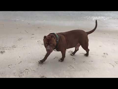 Dogs love the BEACH!! World famous HULK