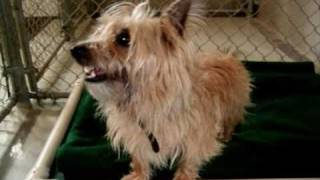 """Lucy, Cairn Terrier """"adopted"""""""