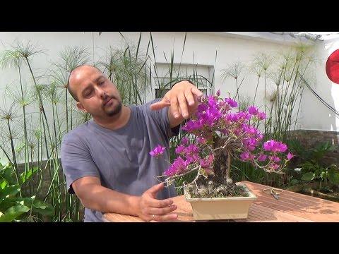 Buganvillas bonsai