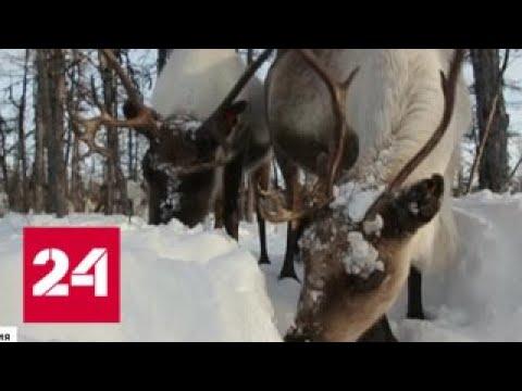 В Якутии считают диких оленей - Россия 24