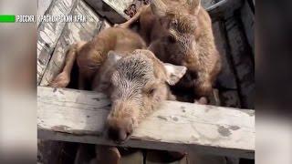 Сотрудники заповедника помогли воссоединиться семье лосей