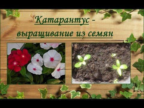 Катарантус (Catharanthus) - выращивание из семян