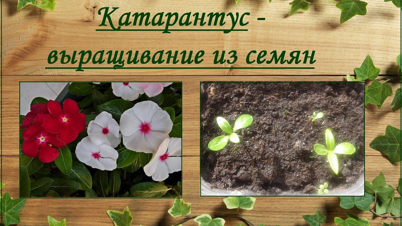 катарантус фото выращивание