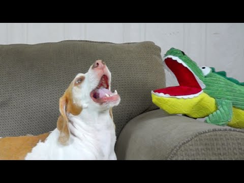 Dog Has Hilarious Reaction to Alligator Puppet: Funny Dog Maymo
