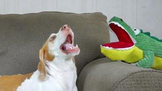 Dog Has Hilarious Reaction to Alligator Puppet: Funny Dog Maymo