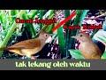 Cucak Jenggot Kapas Tembak Masteran Cak Ijo  Mp3 - Mp4 Download