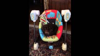 Mini Dachshund Olive Enjoys The Baby's Swing Chair