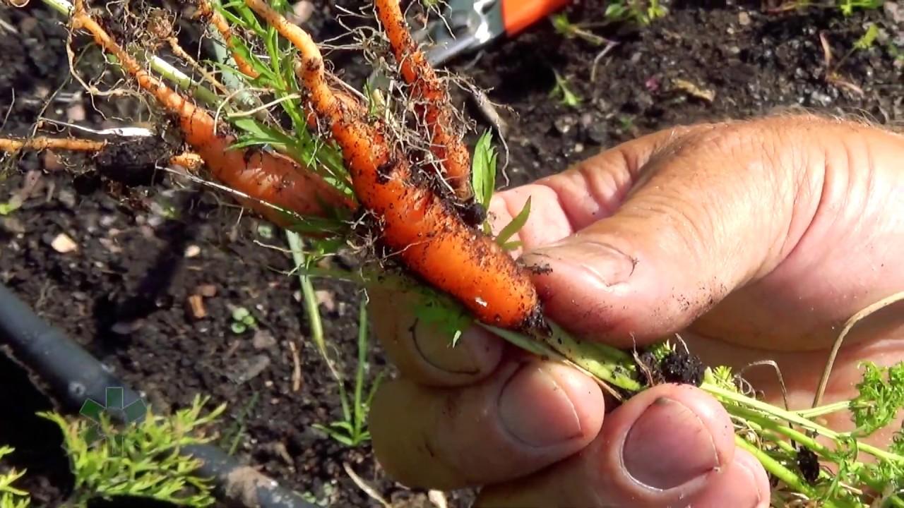 Download Dlaczego marchewki są małe?