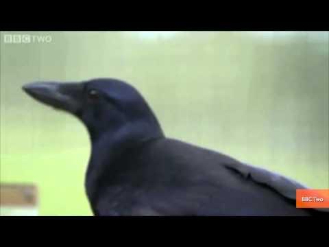 Genius Crow Solves Eight Complex Puzzles in Amazing Video