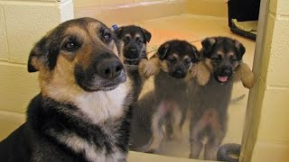 Funny and Cute German Shepherd Puppies Compilation #01  Funniest GSD