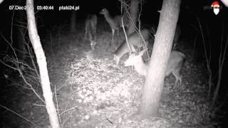 Łanie w karmisku dla dzikich zwierząt w lesie na Podkarpaciu