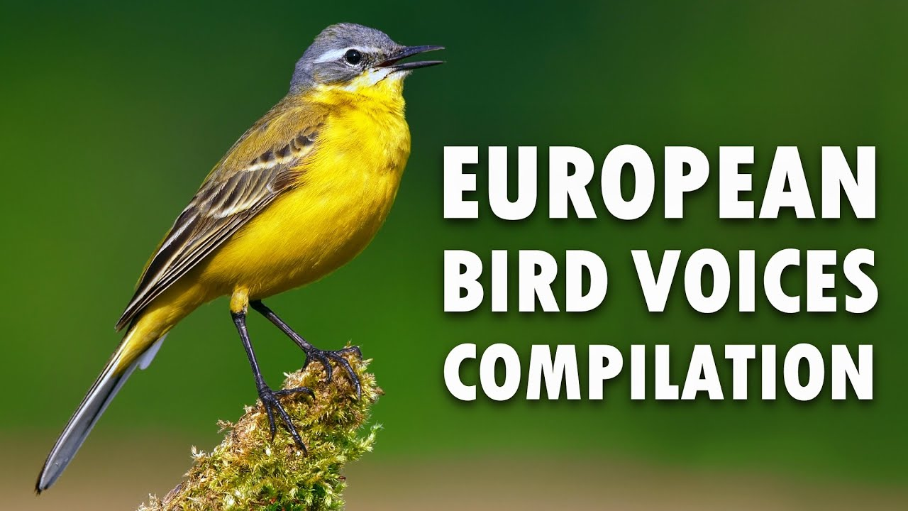46 zingende Europese vogels