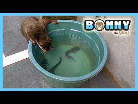 otter #berang-berang #linsang #sero #otterjinak #bayiotter Otter adalah hewan yang lucu dan penyayang, jagalah kelestarian....