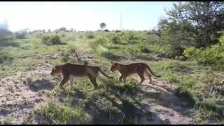 Antelope Park - Volunteering with lions