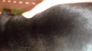 Sweetpea Pugs | Platinum Sliver Black/chocolate Pug Puppy 4 Weeks Old | Kennel Club Breeder