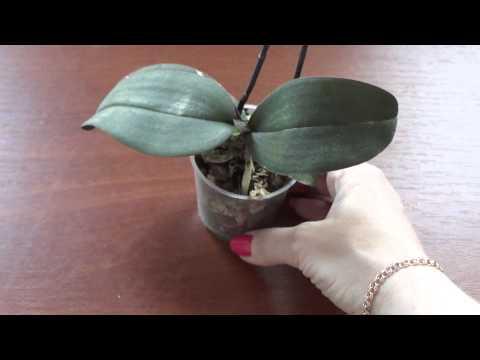 У орхидеи жёлтые корни. Моя мини.