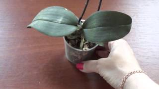 У орхидеи жёлтые корни. Моя мини.(, 2015-07-06T15:02:19.000Z)