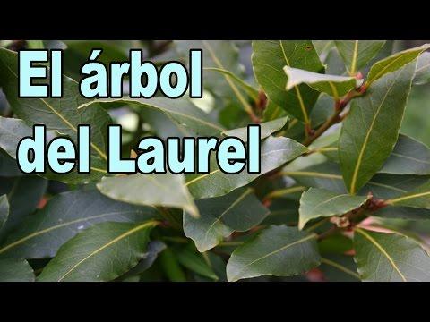 El �rbol del Laurel