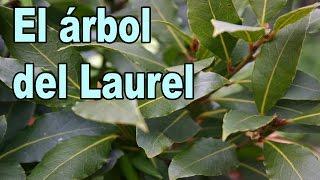 El Árbol del Laurel