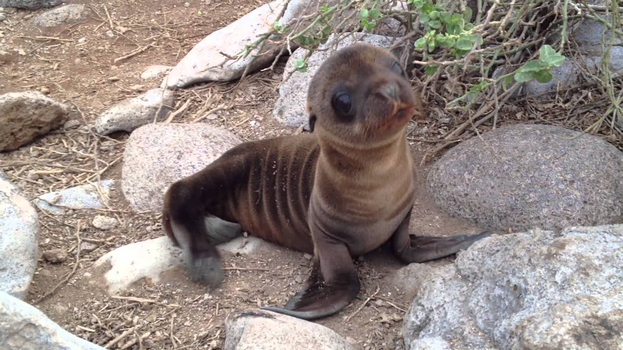baby sea lions wwwpixsharkcom images galleries with