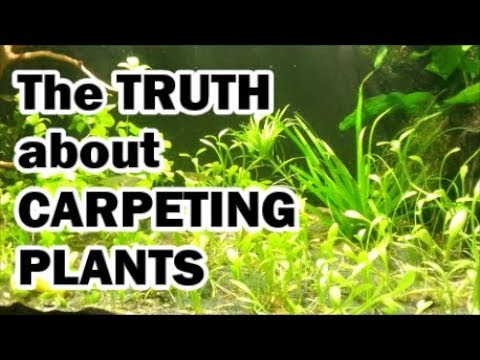 the truth about aquarium carpeting plants youtube