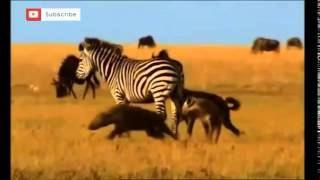ZEBRA VS  HYENAS HD