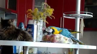 Умный попугай Ара, фильм питомника Catsvill County, mcoon.ru, мейн