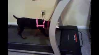 Doberman Pinscher Puppy On Treadmill Getting Some Exercise