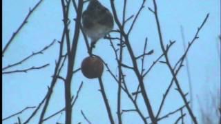 Птицы зимой. Подготовила Стецик Ксения.(Видео Стецик Ксении.Наблюдение за птицами., 2012-11-11T21:13:45.000Z)