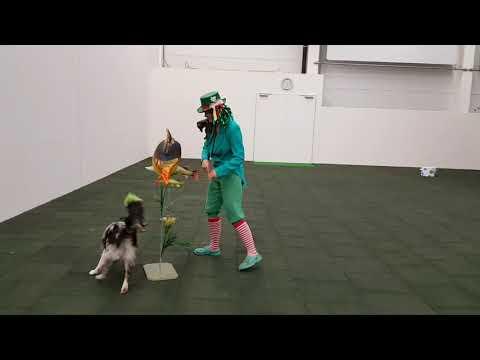 Foxy (8 měsíců)- první dogdancing soutěž