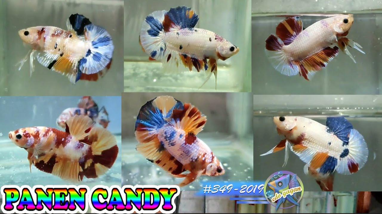 Panen Ikan Cupang Nemo Candy Quality Edo Gagan Awal 2020 Pekanbaru Youtube