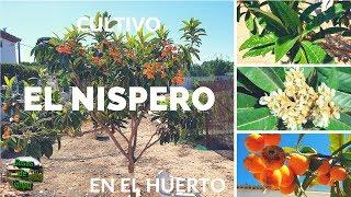 Cultivo del nispero en el huerto