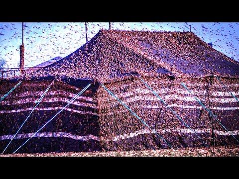 Billions of Locusts feast Saudi Arabia. EMERGENCY!