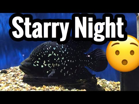 "Starry Night Cichlid ""Madagascar"" Care & Tank Mates"
