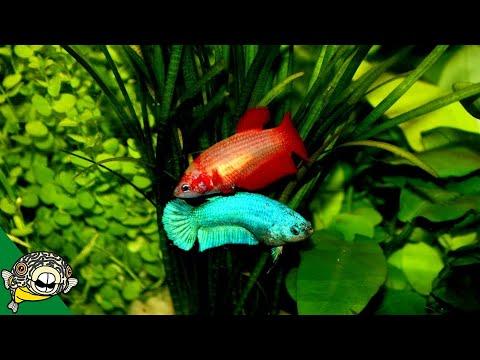 Betta Fish Room Tour - Betta Fish Tanks - Aquarium Co-Op