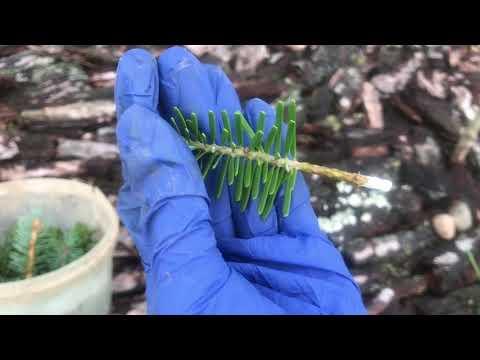 Укоренение зелёных черенков хвойных растений. Мой эксперимент 🧪 Пихта корейская и Ель голубая