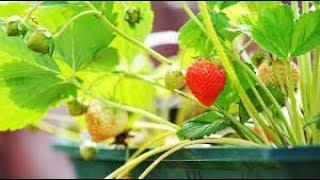 Slow reading - Jip en Janneke plukken aardbeien